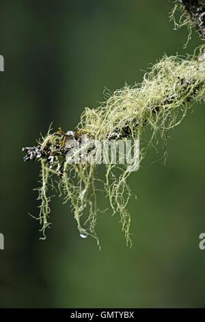 Liquen es un organismo compuesto que surge de las algas o las cianobacterias viven entre filamentos de un hongo en la simbiótica relat