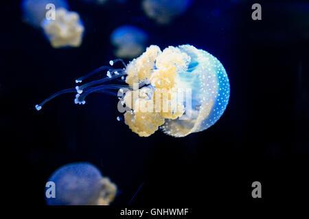 Australia - Phyllorhiza Punctat manchada de medusas.