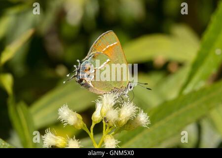 Juniper Hairstreak Callophrys gryneus Montañas Santa Rita, Arizona, Estados Unidos de América 28 de agosto adulto Lycaenidae el