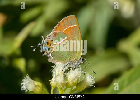 Juniper Hairstreak Callophrys gryneus Montañas Santa Rita, Arizona, Estados Unidos de América el 28 de agosto de adulto en el sauce (Seep Bacchari