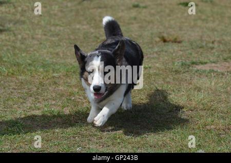 Welsh Corgi perro de pastoreo en pasto.
