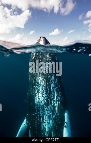 Spyhopping ballena jorobada, Megaptera novaeangliae, Banco de Plata, Océano Atlántico, República Dominicana