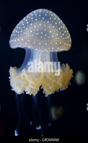Una especie de medusas, conocida como la campana flotante, Australian manchada o medusas Medusas manchada de blanco.
