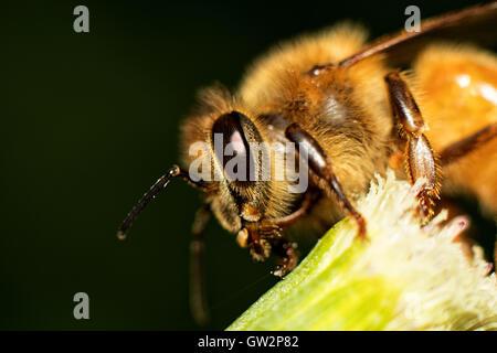 Miel abeja Macro