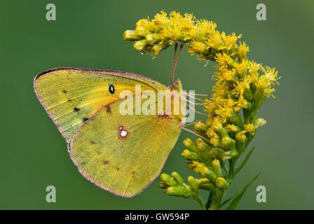 Colias philodice empañó el azufre mariposas alimentándose de Goldenrod (Solidago especies) flores, Michigan, EE.UU.