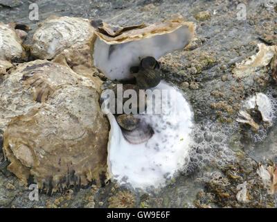 Abrir y cerrar las ostras y percebes de cerca en las rocas de la playa con marea baja.
