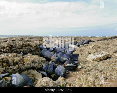 Mejillones y percebes de cerca en la playa de rocas en marea baja. Barcos visibles en el fondo.