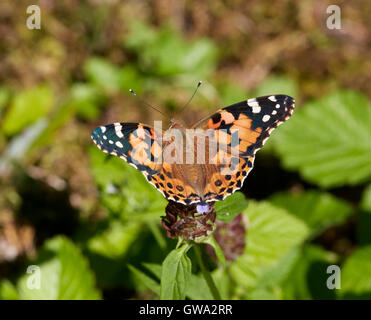 Painted Lady mariposa sobre flor de la autorrecuperación. Foto de stock