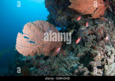 Ventilador gigante en el arrecife de coral en las Maldivas.