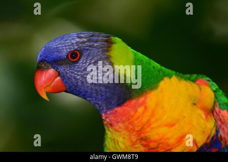Rainbow Lorikeet retrato.