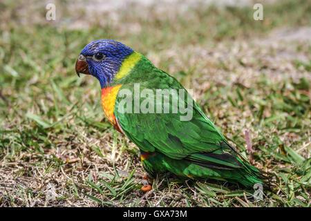 Colores brillantes juvenil rainbow lorikeet, primer día fuera del nido. Aves nativas de Australia.