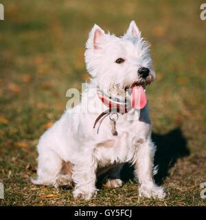 Blanco de West Highland White Terrier (westie) perro Westy, Retrato Foto de stock