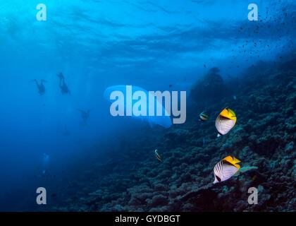 Seascape de medusas y el mapache Butterllyfish sobre arrecifes de coral con los buzos en silueta en las aguas azules del fondo. Mar Rojo.