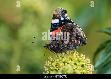 Un almirante rojo butterfly (Vanessa Atalanta) adulto nectaring en las flores de la hiedra común (Hedera helix) en una cobertura en Thirsk, Norte y
