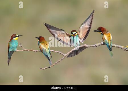 Unión abejarucos (Merops apiaster), cuatro aves, uno en vuelo, Nickelsdorf, Parque Nacional Lago Neusiedl, Burgenland, Austria