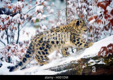 Snow Leopard (Uncia uncia, Panthera uncia), joven animal en la nieve