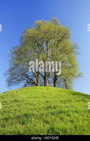 Tilo, tilo, tilo (Tilia spec.), limón verde fresco sobre una colina en la primavera, Suiza
