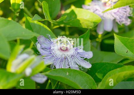 Pasionaria púrpura / violeta de la Flor de vid de la pasión (Passiflora incarnata), Indiana, Estados Unidos