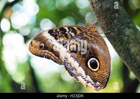 Bosque Gigante (Caligo eurilochus owl), cautiva