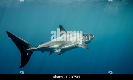 Gran tiburón blanco aleta caudal bajo los rayos del sol en el azul del Océano Pacífico, en la Isla Guadalupe en México