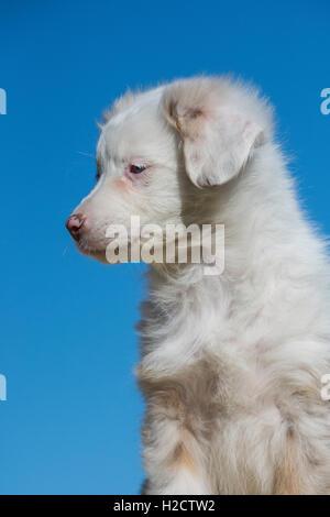 Ocho semanas de edad merle Rojo Perro Pastor Australiano, Puppy