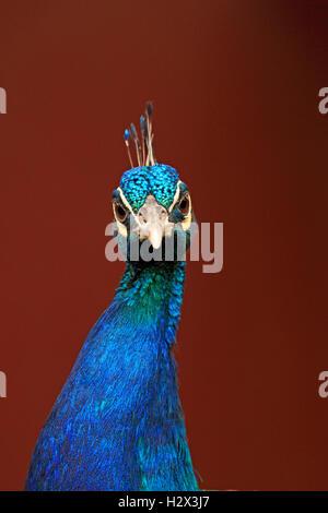 Indian Peacock, Pavo cristatus, Zoológico del Condado de Cape May, Nueva Jersey, Nueva Jersey, EE.UU.