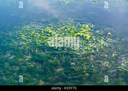 Lechuga de mar, Ulva lactuca, flotando sobre la superficie del agua y bajo el agua en la marea baja de Waddensea, Países Bajos