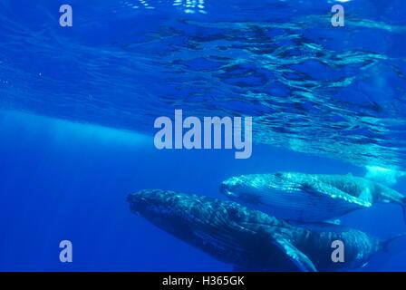 La ballena jorobada, Megaptera noveangliae, Vava'u, Reino de Tonga