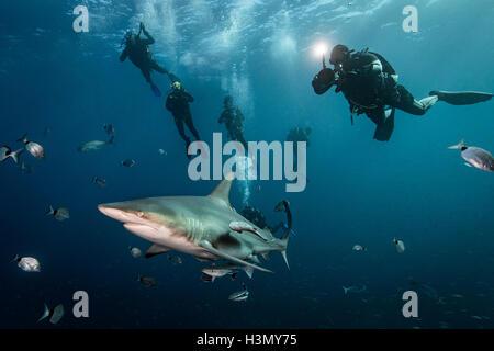 Los buceadores' encuentro con gran tiburón macuira oceánico (Carcharhinus limbatus), Aliwal Shoal, Sudáfrica
