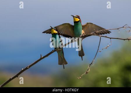 Pareja de abejarucos Europeos (Merops apiaster