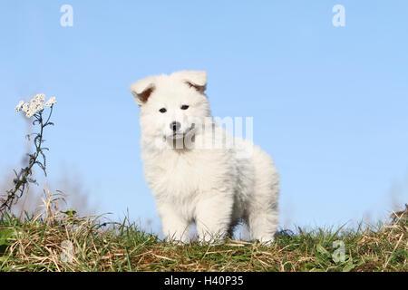 Pastor Blanco Suizo / BERGER BLANC SUISSE permanente cachorro