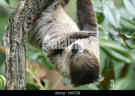 2 dedo perezoso, Choloepus didactylus, sucursal, colgar, impetuoso, animal, zoológico de animales salvajes, pieles de animales, mamíferos, escalar, perezoso, Unau, garras, selvas tropicales, exóticos,