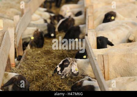 Suffolk ovejas ovejas domésticas, Ovis orientalis aries,