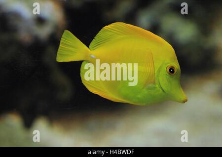 Tang amarillo Zebrasoma flavescens