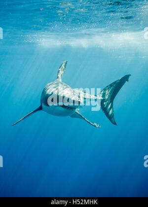 Gran tiburón blanco en el Océano Pacífico