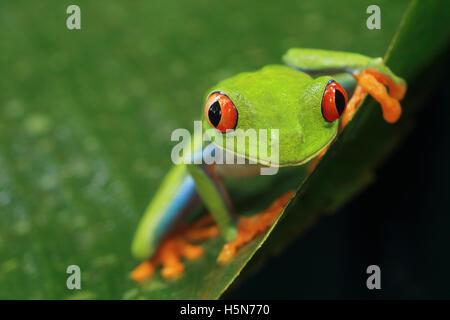 La rana arborícola de ojos rojos (Agalychnis callidryas) en el bosque lluvioso del caribe. Parque Nacional de Tortuguero, Costa Rica.