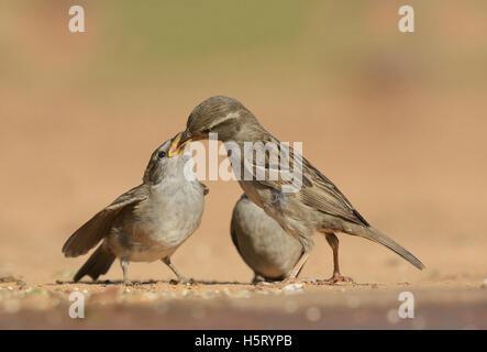 Gorrión (Passer domesticus), alimentación hembra joven, Rio Grande Valley, al sur de Texas, Texas, EE.UU.