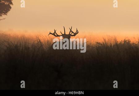 Ciervo rojo (Cervus elaphus) -el Stag, fuelles al amanecer durante la temporada de celo. Escocia. Foto de stock