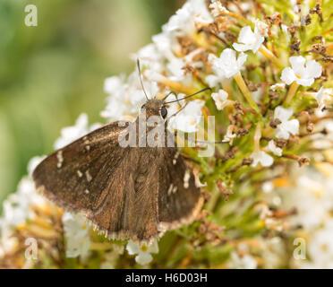 Confundirse Cloudywing alimentándose de mariposas blancas flores Butterflybush Foto de stock