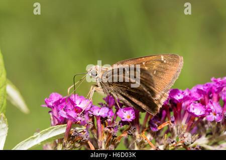 Confundirse Cloudywing alimentándose de una mariposa deep purple Buddleia racimo floral Foto de stock