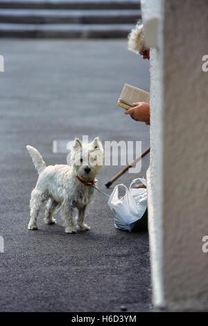 El West Highland White Terrier, conocido comúnmente como el Westie o Westy. Great Yarmouth. Inglaterra
