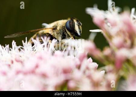 Miel de abejas recogiendo polen de una flor rosa