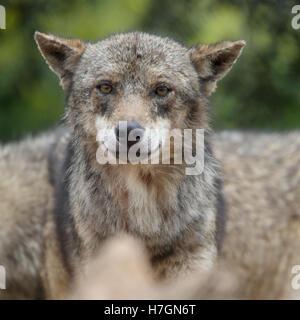 Un cautivo eurasiática el lobo (Canis lupus), España.