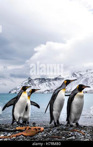 Cuatro pingüinos rey (Aptenodytes patagonicus) en una playa caminando en una fila
