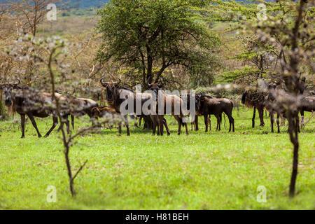Los ñus antílopes en la sabana Maasai Mara National Park, Kenia, animales salvajes, mamíferos, safari, Uganda, Foto de stock