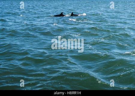 Delfines en el río Tajo en Lisboa, Portugal.