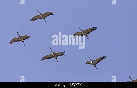 Bandada de grullas comunes, Grus grus, en vuelo al inicio de la migración primaveral hacia el norte. SW de España.
