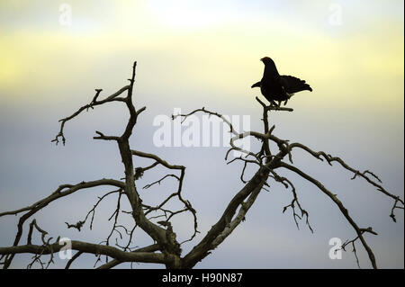 Mostrar macho negro urogallo, lyrurus tetrix, parque nacional de Hamra, gävleborgs län, Suecia