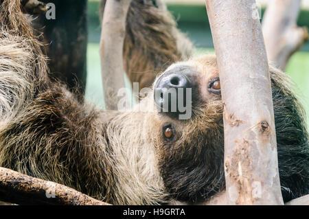 Tres vetado sloth colgado boca abajo de algunas ramas.