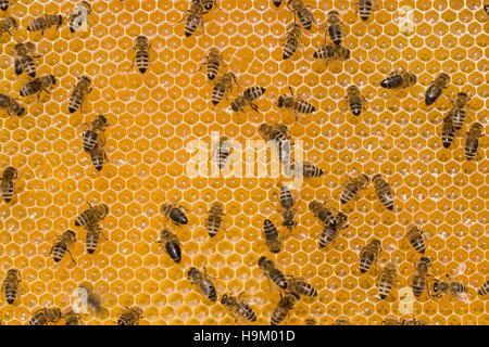 Las abejas (Apis mellifera) en un panal de miel